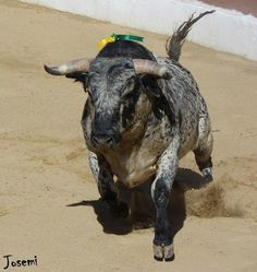 buen toro de Domeq