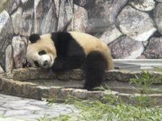 Sleeping Panda, Panda Love, Albino, Sloth, Cute Animals, Black And White, Giant Pandas, Panda Bears, Yellow