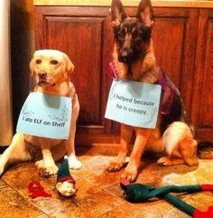 """I ate the Elf on the Shelf"" and ""I helped because he is creepy."" ~ Dog Shaming shame - Christmas edition - German Shepherd and Labrador"