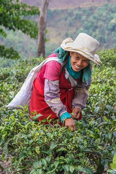 Harvesting Tea in China | re-pin by http://www.cupkes.com/tea/