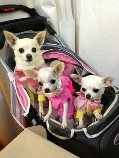 Chihuahuas out on the town...I have always secretly wanted a dog stroller, but think my husband and son would disown me