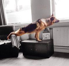 """21.7 ezer kedvelés, 242 hozzászólás – Cooper & Friends (@cooper_thegsd) Instagram-hozzászólása: """"""""What if I could reach the window while I am still on the couch?!"""" #SUCCESS Photo credit…"""""""