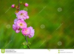 Pink Spring Blossom - Download From Over 59 Million High Quality Stock Photos, Images, Vectors. Sign up for FREE today. Image: 91680570