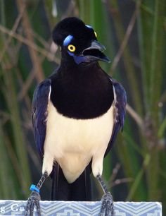 """""""Say WHAT??""""  -  Plush Crested Jay from Argentina. -  Love the Blue Eyebrows!"""