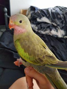 "lifewithmybirds: ""❤💚❤💚❤💚❤ 📷 Guava "" Cute af"