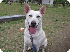 S F, CA - Labrador Retriever/Shepherd (Unknown Type) Mix. Meet Noah, a dog for adoption. http://www.adoptapet.com/pet/13250048-s-f-california-labrador-retriever-mix