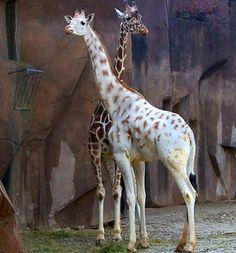 girafa albina