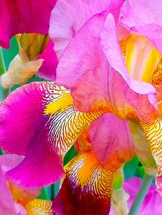 Flowers And Garden Ideas : Hot Pink Iris Iris Flowers, Exotic Flowers, Amazing Flowers, My Flower, Planting Flowers, Beautiful Flowers, Colorful Roses, Cactus Flower, Flowers Garden