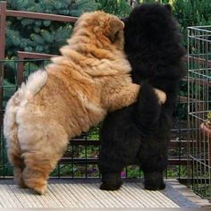 ― The Official Page Chowchow.さん( 「I love You -Tag the person u would gift it pup 」 Bulldog Puppies, Cute Puppies, Cute Dogs, Dogs And Puppies, Doggies, Cute Babies, Perros Chow Chow, Chow Chow Dogs, Sweet Dogs