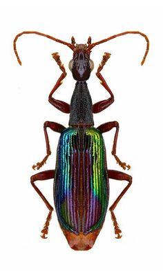 Agra sp. Elegant Canopy Beetles – CARABIDAE