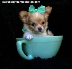 Long Haired Chihuahua Puppies | Long Hair Chihuahua Puppies For Sale