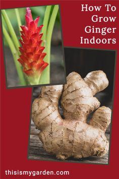 Growing Ginger Indoors, Growing Herbs, Growing Vegetables, Vegetable Garden For Beginners, Home Vegetable Garden, Gardening For Beginners, Garden Plants, Indoor Plants, House Plants