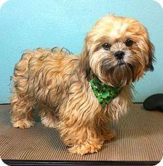 McKinney, TX - Shih Tzu. Meet Mike Gambit, a puppy for adoption. http://www.adoptapet.com/pet/12054943-mckinney-texas-shih-tzu