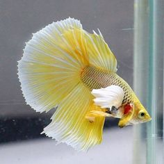 YELLOW-DUMBO-EARS-WHITE-BUTTERFLY-TAIL-HALFMOON-HM-MALE-BETTA-LIVE-FISH