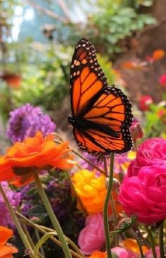 Butterfly amongst beautiful roses....