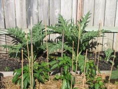 Artichokes..shari Jones garden 6/3/2014