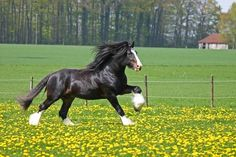 The Most Beautiful Horse Ever | Beautiful Shire Galloping - shire, english horse, horses, animals ...