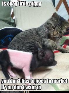 is okay little piggy