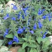 Salvia patens 'Patio Dark Blue' (Gentian sage 'Patio Dark Blue') Click image to learn more, add to your lists and get care advice reminders each month.