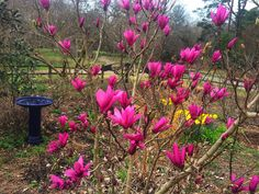 Thank Heaven for These Little Girls | These later-flowering magnolias are just the right size for most gardens