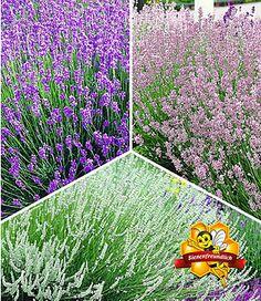 Fancy Lavendel Kollektion Pflanzen