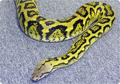 Jungle Retic - hybrid from Reticulated Python x Bateater Reptiles And Amphibians, Mammals, Retic Python, Reticulated Python Morphs, Beautiful Snakes, Snake Patterns, Crocodiles, Tortoises, Jacket Men
