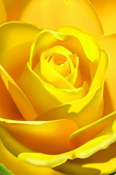 flowers.quenalbertini2: Yellow rose close up