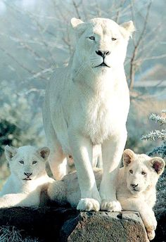 White Lioness and Cubs.