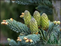 Clusters of cones add interest to the garden every spring.