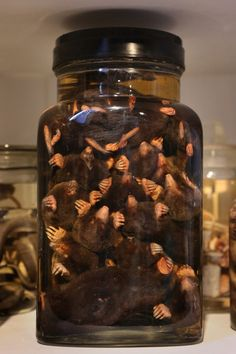 A Large Jar of Moles Wet Specimens. The Grant Museum of Zoology. London, England.