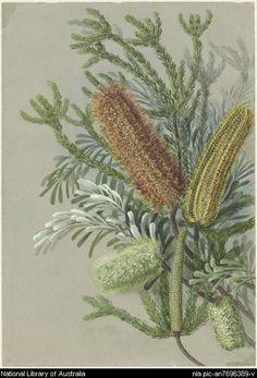 Rowan, Ellis, 1848-1922. [Banksia ericifolia, Banksia marginata] [picture]