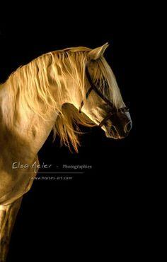 Gemelo, pure race espagnole, reproducteur au Haras du Grand Orme.
