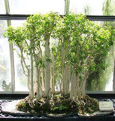 Bonsai Benjamin Ficus grove