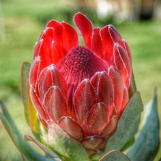 21:15 Good evening to you with South Africa's national flower... The Protea... Very beautiful they are.. This one still opening... Spent the day out in the countryside.. Mostly grey skies .. But freshest of air... Filled the lungs with pure oxygen today... Blessed to be able to get out capture and share with you through my eyes the beautiful creations of God... Just cannot get enough... Just want to snap away every day at everything.... Lol.. Enjoy the Protea... Have a Blessed Sunday…