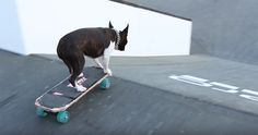 Check out these Boston Terrier Dogs Skateboarding and Scootering at an Extreme Sports Event ► http://www.bterrier.com/?p=30654 - https://www.facebook.com/bterrierdogs