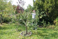 Obstbaumschnitt Apfel