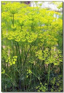 Fennel: Star-burst yellow flowers have a mild aniseed flavour. Use with desserts or cold soups, or as a garnish with entrees – obvious affinity with fish.