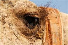 Camel Eye Picture