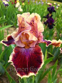 Iris Desert Dawn Song