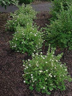 McKay's White Potentilla ......Hearty drought and deer resistent shrub with long lasting creamy white flowers ...