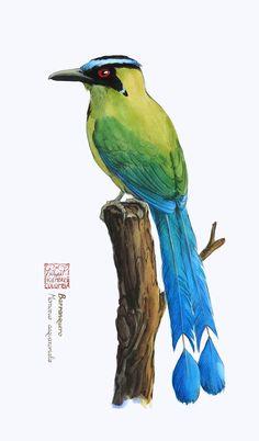 """Barranquero / Andean motmot"" (Momotus aequatorialis) Watercolor and colored pencil Dec 2018 Bird Illustration, Watercolor Illustration, Autumn Scenes, Beach Wall Art, Bird Drawings, Watercolor Bird, Gravure, Bird Prints, Animal Paintings"