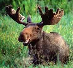 Winter ticks making life rough for Maine moose