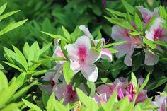 #garden, #azalea, #pink, #leaves, #early summer,