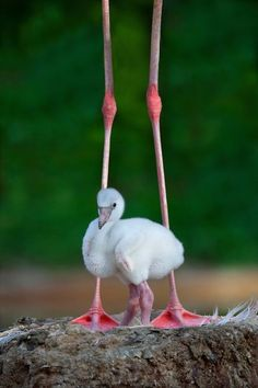 Flamingo chick with mother ~ tinamotta: via mistymorrning.tumblr.com