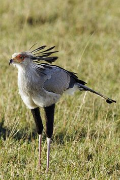 _MG_7990 by mrhmclean on Flickr.        Secretary Bird   _MG_7990 by mrhmclean, via Flickr