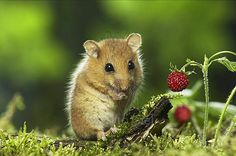 Hazel mouse