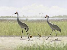 "Family of Sandhill Cranes  Out for a Stroll. "" La Familia Sandhill Cranes ""  © Anthony M. Alonso."