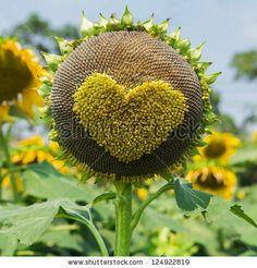 Bright yellow sunflowers - stock photo