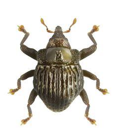 Trigonopterus signicollis