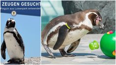 German police say a Humboldt penguin has been stolen out of its cage from a zoo in the southwestern city of Mannheim, and zookeepers say the bird could easily die if it's not returned soon.